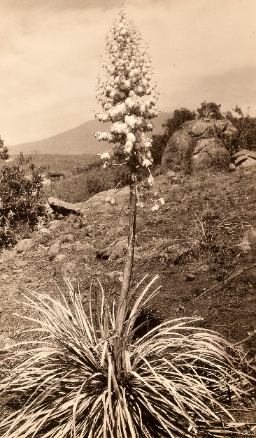 yucca_in_bloom_17DEC0247.pdf