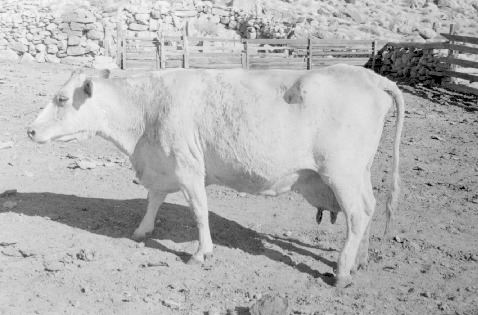 Mossner_yearbook_white_cow_17DEC0303.pdf
