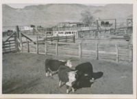 Cattle corrals